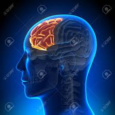 frontal lobe 2